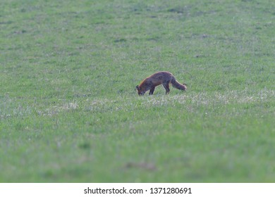 red fox looking and hunting on a meadow for fieldmouse