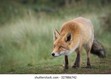 Red Fox looking sly in Natural environment in the Netherlands, Europe.