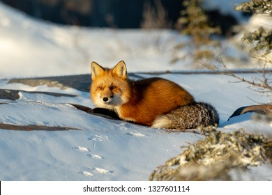 Red fox lying in the snow