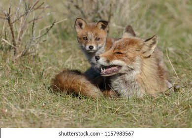 Red fox mother and her cubs in nature on a springday in the Dutch dunes