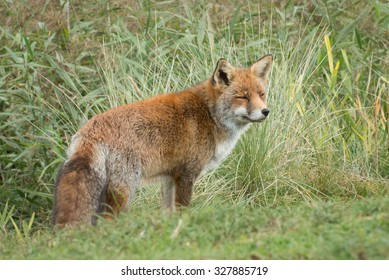 Red Fox in Natural environment in the Netherlands, Europe.