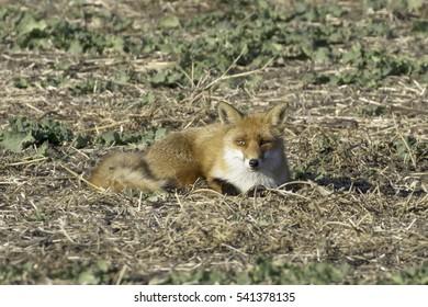 red fox in natural habitat / Vulpes vulpes