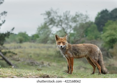Red fox in nature in springtime