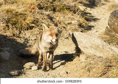Red Fox in the nature - Vulpes vulpes, European fox.