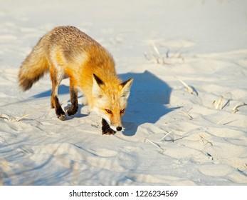 Red Fox on the Beach