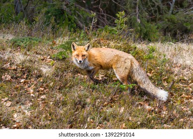 Red fox on forest limit