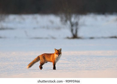 Red fox on snow