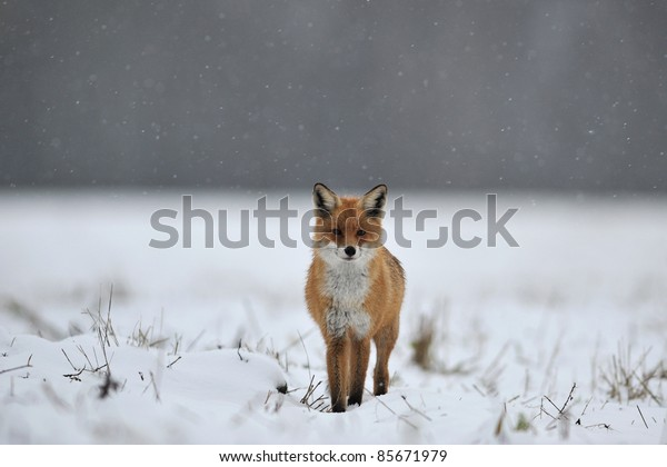 Red Fox on snow