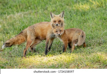A red fox in Pennsylvania