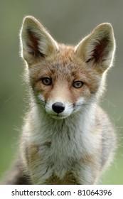Red fox portait