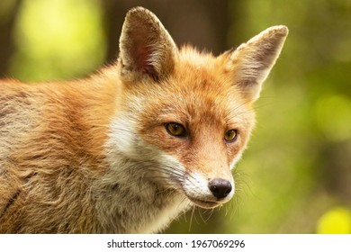 Red fox portrait in the forest