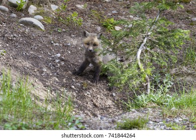 A red fox and red fox pups in Grand Teton National Park, Utah