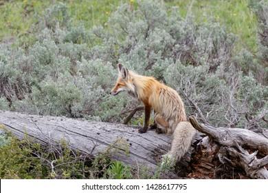 Red fox resting on dead tree