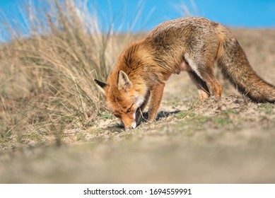 Red fox in the sand