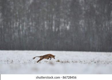 Red fox with Sarcoptic Mange