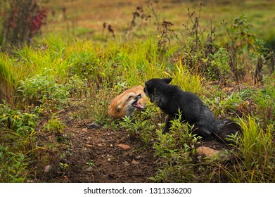 Red Fox and Silver Fox (Vulpes vulpes) Tussle Autumn - captive animals
