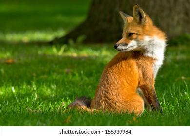 Red Fox sitting comfortably on a manicured lawn. Rosetta McClain Gardens, Toronto, Ontario, Canada.