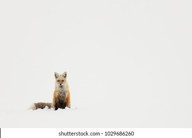 Red Fox Sitting in the Snow