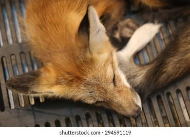 red fox sleep, head