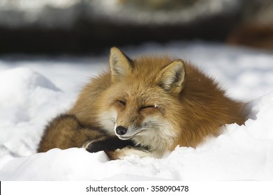Red fox sleeping in the snow