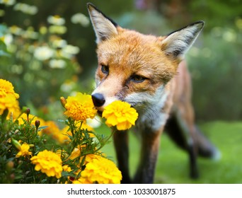 Red fox smelling marigold flowers in the garden, summer in UK.