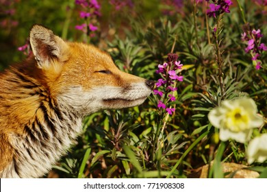 Red fox smelling spring flowers in the back garden, suburb of London. Urban wildlife.