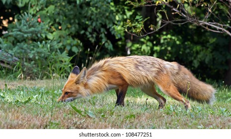 Red fox smells the ground searching for food