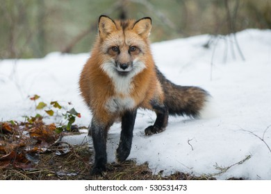 red fox in snow covered forest