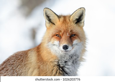 RED FOX IN THE SNOW FINDING FOOD