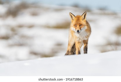 Red Fox in the snow, winter in the Netherlands.