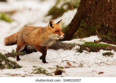 red fox at snowy forest