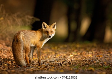 Red Fox. The species has a long history of association with humans.The red fox is one of the most important furbearing animals harvested for the fur trade. Largest of the true foxes