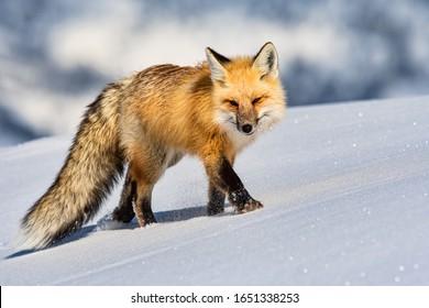 red fox stalking prey in snow drift of hayden valley in yellowstone national park