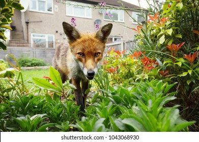 Red fox standing in the garden with flowers near house in a suburb of London, summer in UK.