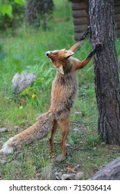 Red fox standing on its hind paws
