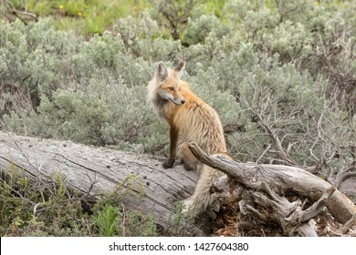 Red Fox standing on log