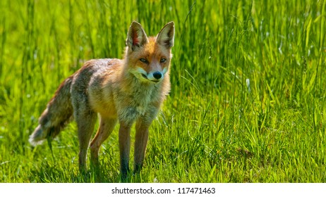 Red Fox is standing on a meadow