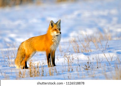 Red Fox standing in snowcovered meadow