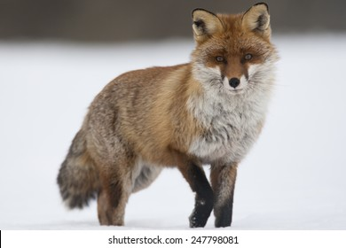 Red fox stands in snow covered field against white background