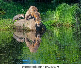 Red Fox stares at his own reflection in a clear pond.