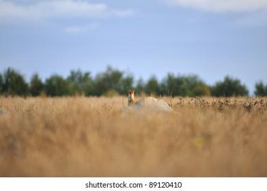 Red fox in summertime