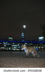Red fox in urban setting at night. With tower blocks and street lights.