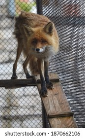 A red Fox with a very sly face