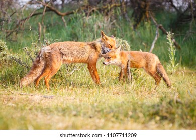 red fox vixen with cub