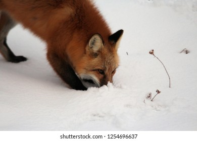 Red Fox Vixen Plays in the Snow
