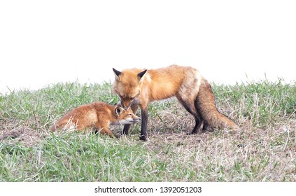 Red fox vixen Vulpes vulpes cleaning her kit in Canada