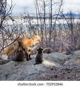 Red fox vixen, Vulpes vulpes, nursing her young foxes at den near Lake Laberge, Yukon Territory, Canada