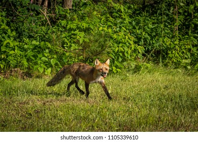 Red Fox Vixen (Vulpes vulpes) Trots Out Of Woods - captive animal