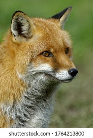 Red Fox ( Vulpes vulpes)  Adult close up head portrait,outdoors.