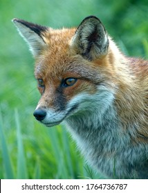 Red Fox (Vulpes vulpes) Adult close up head portrait outdoors.